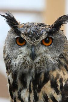Free Long-eared Owl Stock Image - 9704781