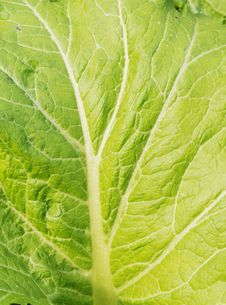 Free The Cabbage Leaf Royalty Free Stock Photos - 9704808