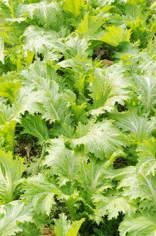 Free The Flourish Vegetable Field Stock Photo - 9704810