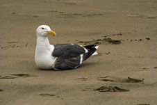 Free Seagull Seating On The Sand Royalty Free Stock Photo - 9705315