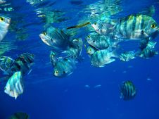 Free School Of Tropical Fishes Eating Mangrove Leafs Stock Photos - 9705563