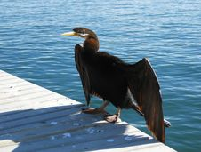 Free Cormorant And Water Royalty Free Stock Image - 9705706