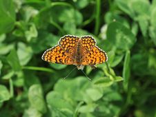 Free Butterfly Royalty Free Stock Photography - 9706597