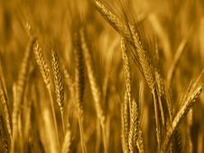 Free Field Of Wheat Stock Photos - 9706783