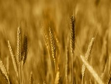 Free Field Of Wheat Stock Photography - 9706832