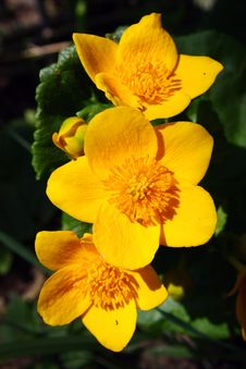 Marsh Marigold Stock Photography