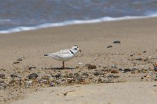 Free Cape Cod Piping Plover Stock Images - 9707784