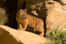 Free Tiger Cub Royalty Free Stock Image - 9708106