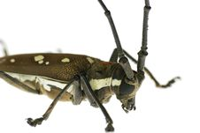Free Macro Long-horned Beetle Royalty Free Stock Images - 9708149