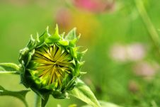 Free Sunflower Bud For Background Stock Image - 9708341
