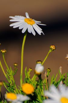 Free Daisy With Water Dews Royalty Free Stock Photos - 9709168