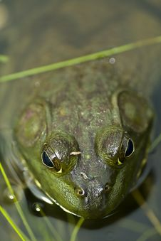 Free Green Bull Frog Stock Images - 9709434