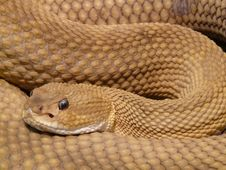 Free Brown Viper Snake Stock Images - 97008584