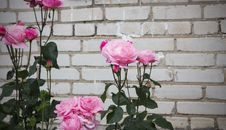 Free Pink Roses Royalty Free Stock Images - 97076619