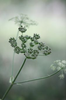 Free Flora, Plant, Vegetation, Cow Parsley Royalty Free Stock Images - 97078259
