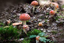 Free Fungus, Mushroom, Agaric, Spring Royalty Free Stock Photos - 97093588