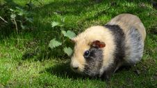 Free Fauna, Guinea Pig, Rodent, Grass Stock Image - 97095361