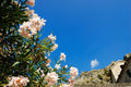 Free Flowering Oleander Stock Photography - 9711862