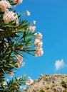 Free Flowering Oleander Stock Photos - 9711883
