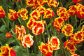 Free Flower Bed Of Unusual Red Tulips Royalty Free Stock Image - 9711946