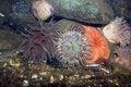 Free Various Sea Anemones Stock Photos - 9712733