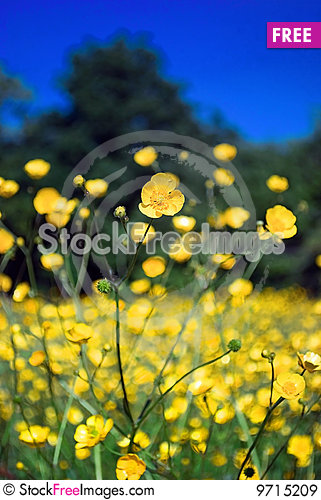 Free Buttercup Field Royalty Free Stock Images - 9715209