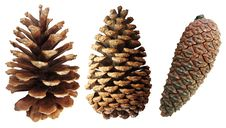 Two Pine Cones Royalty Free Stock Photos