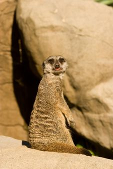 Free Alert Meerkat Stock Photos - 9710363