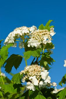 Free Blossoming Guelder-rose Royalty Free Stock Photography - 9710507