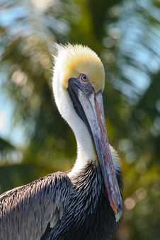 Free Brown Pelican Royalty Free Stock Images - 9711019