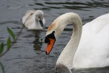 Free Swan With Baby Stock Photography - 9711352