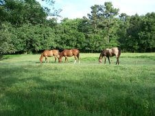 Free Horses Grazing In Green Pasture Royalty Free Stock Photography - 9711507