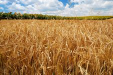 Free Golden Wheat Field Stock Image - 9711821