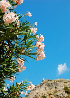 Free Flowering Oleander Stock Photos - 9711883