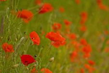 Free Colourful Poppies Royalty Free Stock Images - 9712989