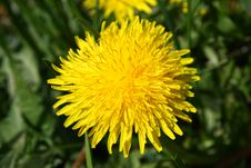 Free Dandelion Royalty Free Stock Images - 9714229