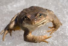 Free Frog On Snow Royalty Free Stock Images - 9714279