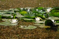 Free Water Lily And Frog Royalty Free Stock Photos - 9714768