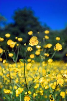 Buttercup Field Royalty Free Stock Images