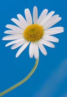 Free Beautiful Chamomile Royalty Free Stock Images - 9715999