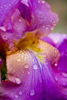 Free Iris Versicolor With Dew Drops-shallow Dot Stock Photos - 9717353