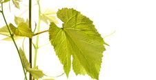Free Grape Vine With Leaves On White Royalty Free Stock Image - 9717596