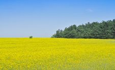 Canola Field Royalty Free Stock Photo