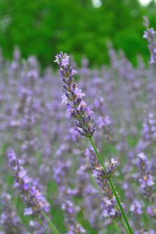 Close Up View Of Lavander Flowers In Full Bloom Royalty Free Stock Photos