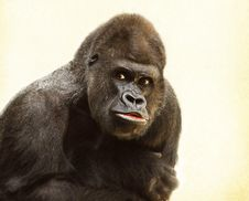Free Great Ape, Western Gorilla, Mammal, Primate Stock Photo - 97141690