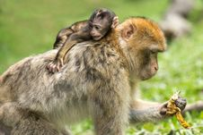 Free Macaque, Mammal, Fauna, Primate Royalty Free Stock Image - 97142516
