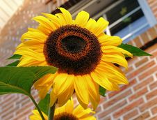 Free Flower, Sunflower, Yellow, Sunflower Seed Royalty Free Stock Photo - 97143135