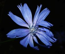 Free Blue, Flower, Flora, Chicory Stock Photos - 97153143