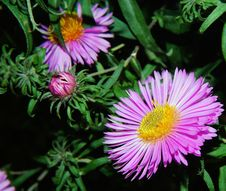 Free Flower, Aster, Plant, Flora Royalty Free Stock Images - 97153149