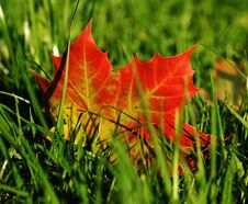 Free Leaf, Maple Leaf, Autumn, Grass Royalty Free Stock Photos - 97175568